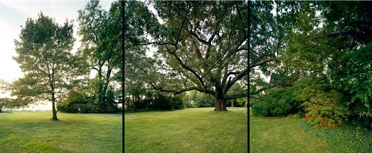 Black Oak Tree ~ Landslide every tree tells a story the cultural
