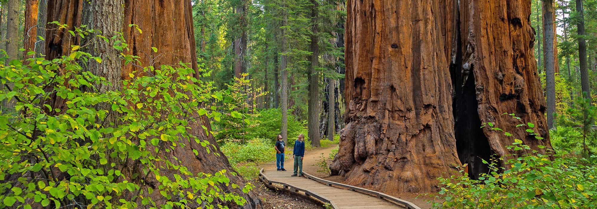 CA_GiantSequoiaRange_Calaveras_North_Grove_byMaxForster_2019_Hero.jpg