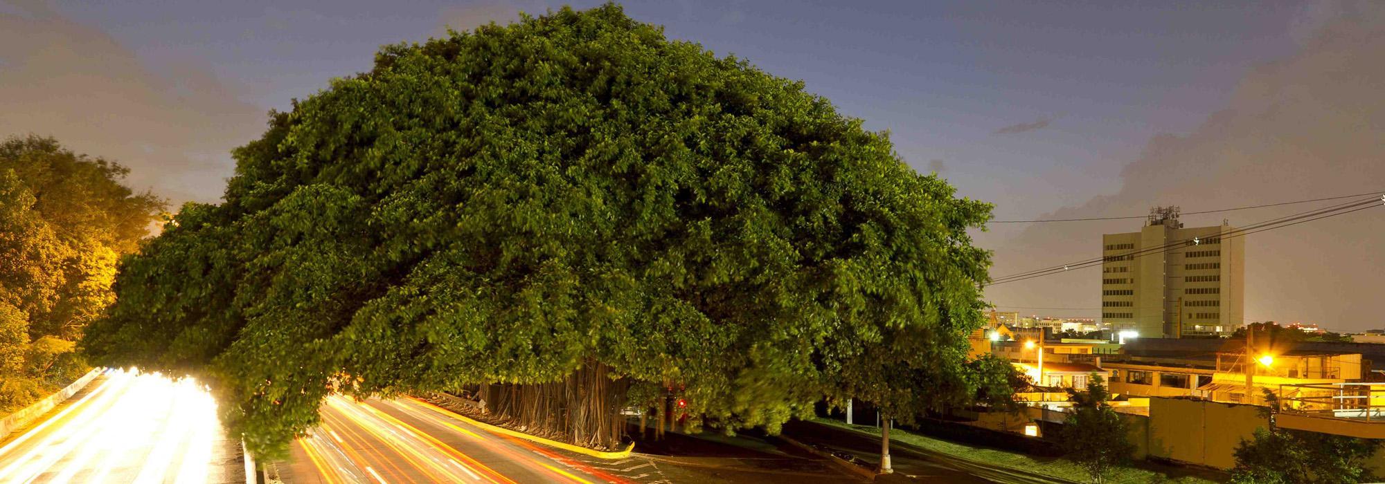 Ficus_hero_2010.jpg