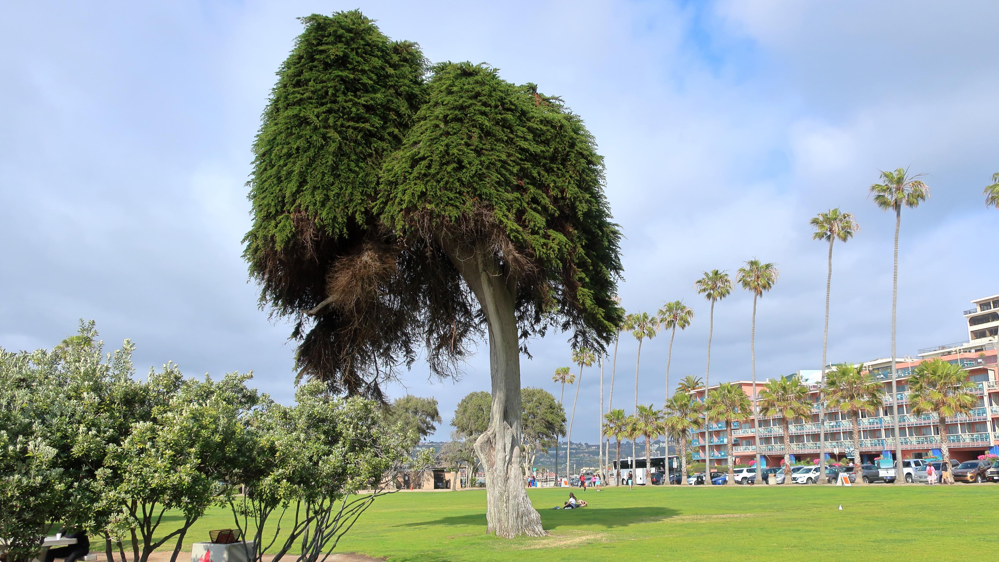 CA-SanDiego_EllenBrowningScrippsPark_Cultivar413_Flickr_2018_004_sig.jpg