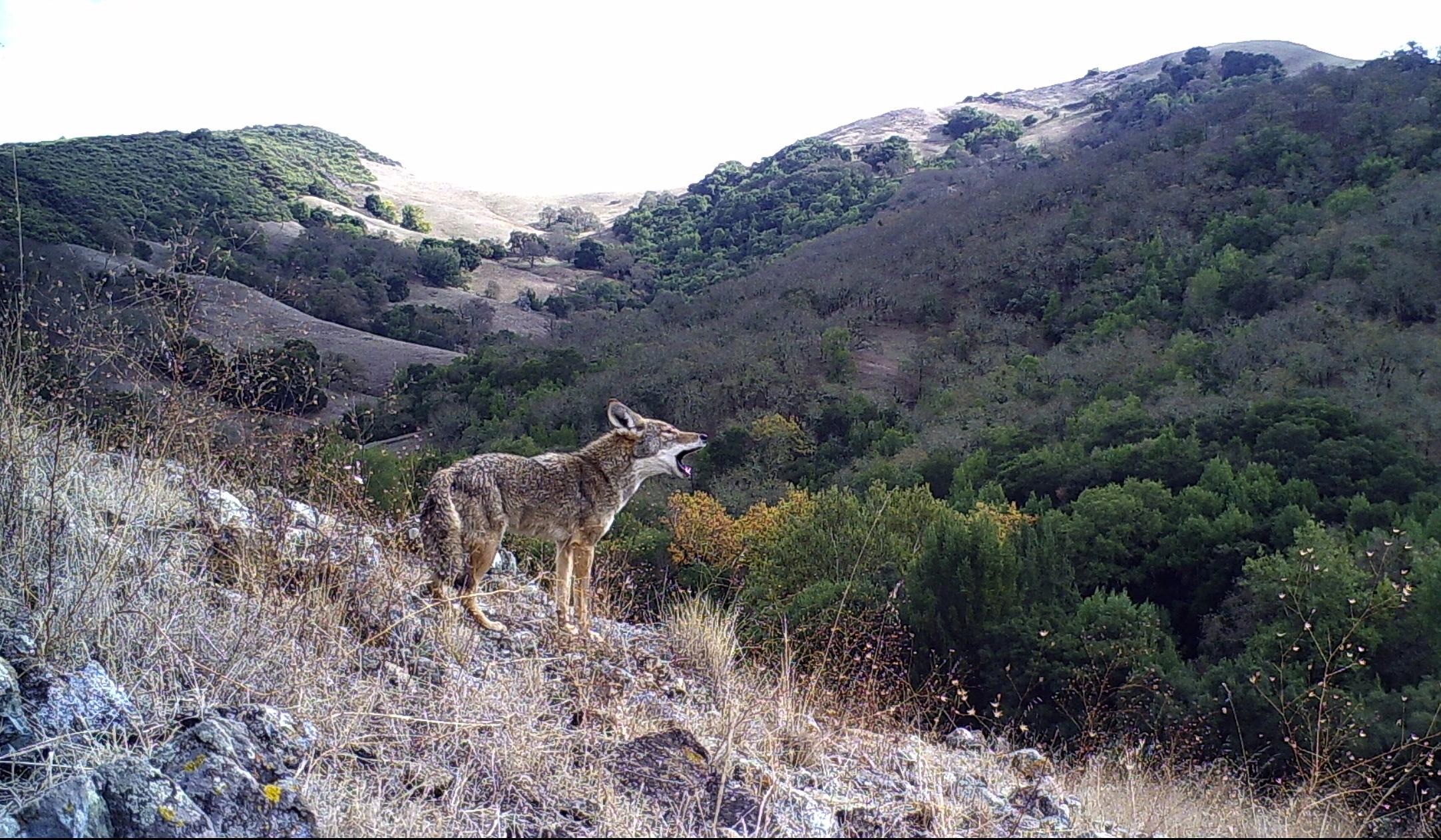 Coyote Valley_OSA Wildlife Camera Credit - Santa Clara Valley Open Space Authority.JPG